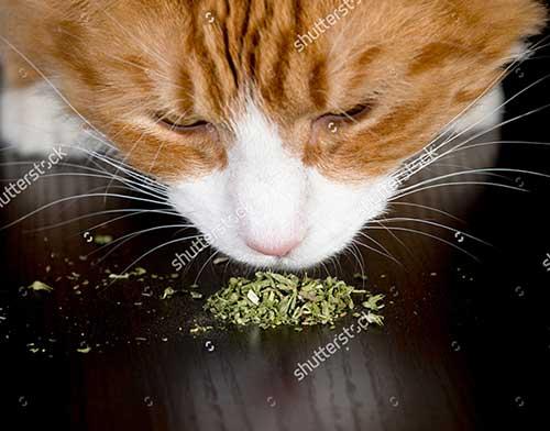 Cỏ mèo là gì