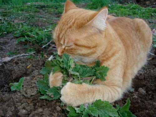 Đặc điểm của cỏ mèo