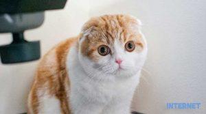 Mèo Scottish Fold