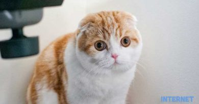 Mèo Scottish Fold
