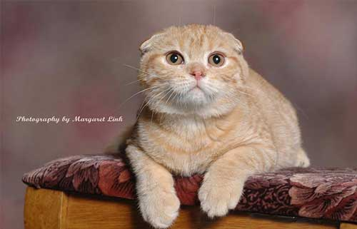 Nguồn gốc mèo Scottish Fold