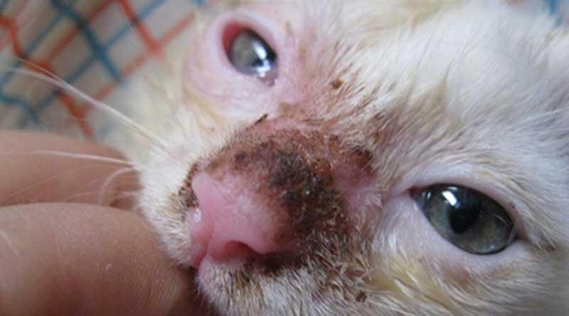 Mèo bị đau mắt do đâu