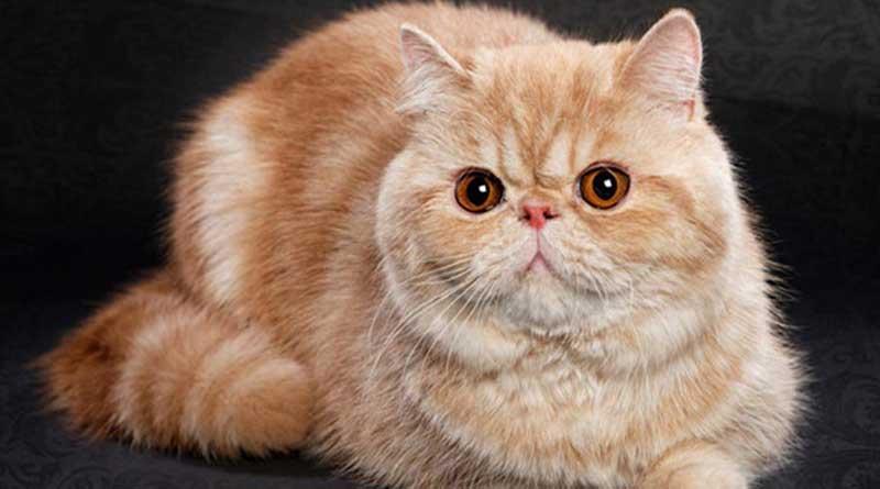 Thông tin mèo exotic