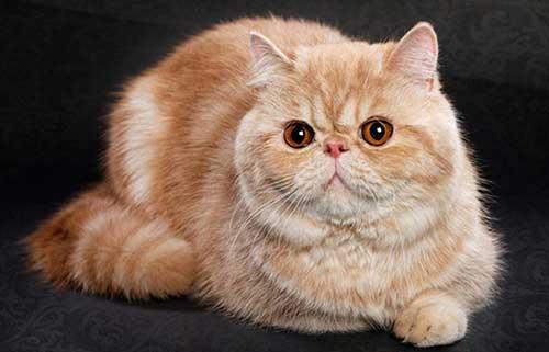 Nguồn gốc mèo Exotic