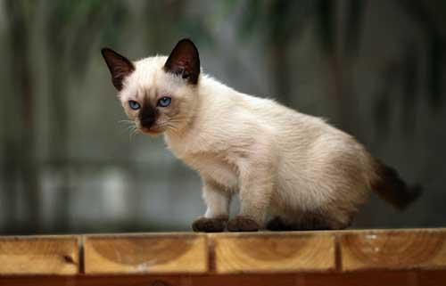 Tính cách mèo Xiêm Thái Lan