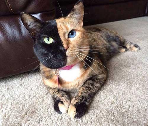 Chú mèo Venus