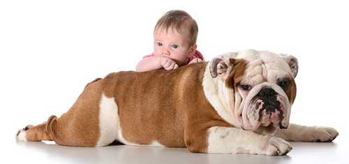 Chăm sóc chó Bulldog như thế nào