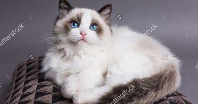 Chi tiết về giống mèo Ragdoll
