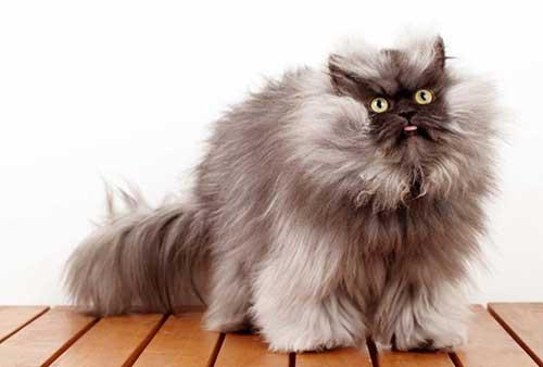 Chú mèo Colonel Meow