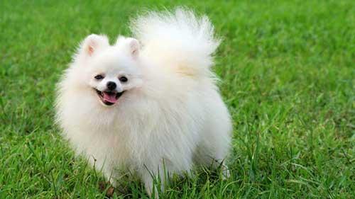Đặc điểm chó Phốc Sóc - chó Pom