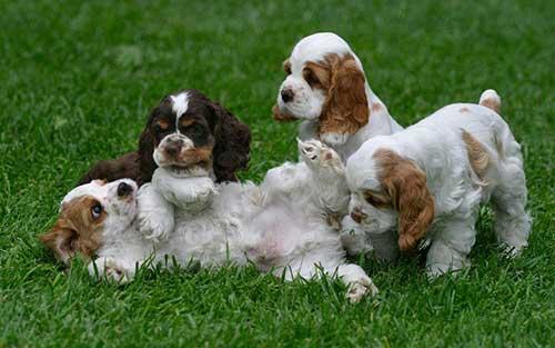 Đặc điểm của chó Cocker- Chó Tây Ban Nha