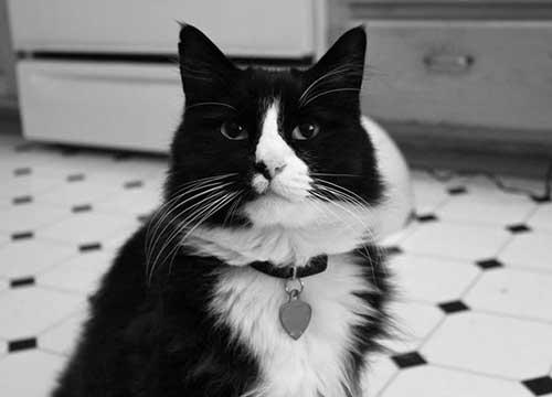 mèo Henri