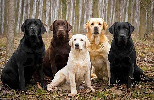 Nguồn gốc chó Labrador. Ảnh Internet