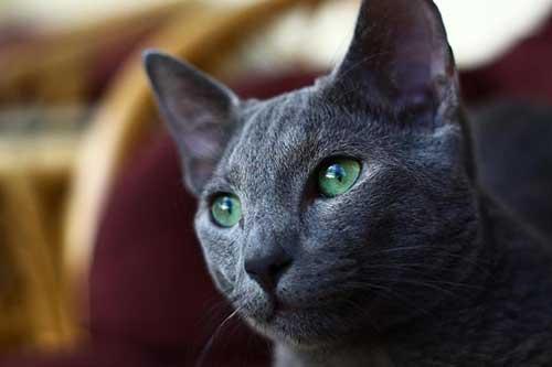 nguồn gốc mèo Nga mắt xanh