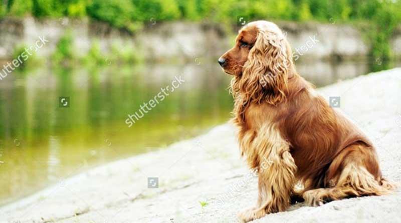 Thông tin về chó Tây Ban Nha, chó Cocker