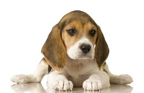Tính cách của chó Beagle