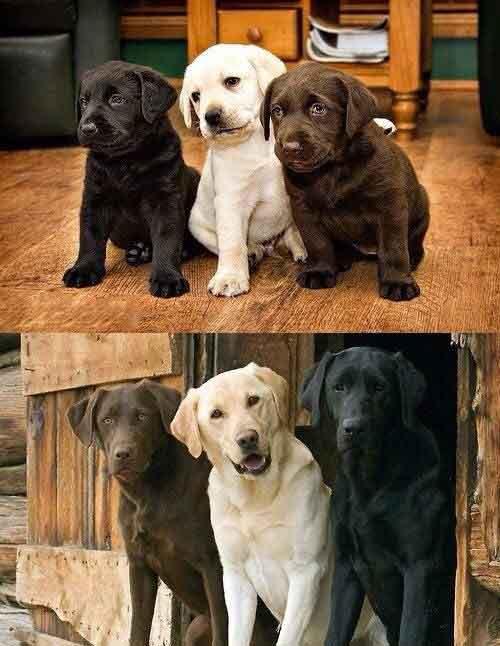 Tính cách chó Labrador
