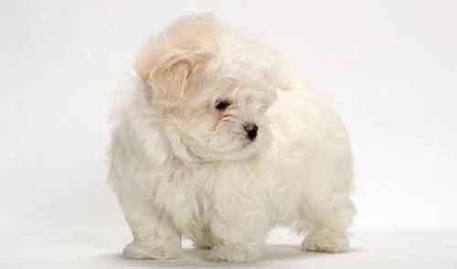 Chó Maltese và nguồn gốc