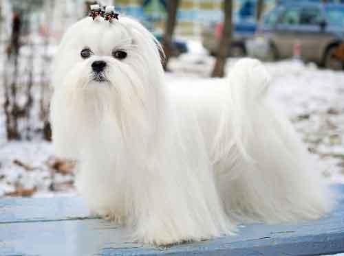 Đặc điểm của chó maltese