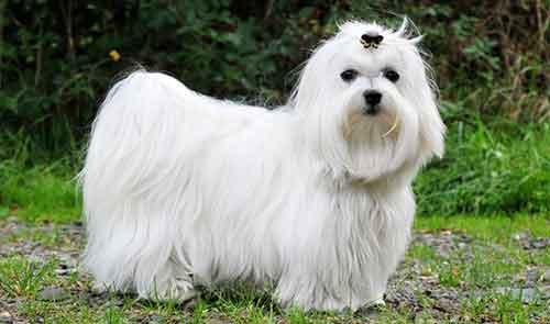 Chó Maltese giá bao nhiêu