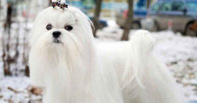 Thông tin về giống chó Maltese