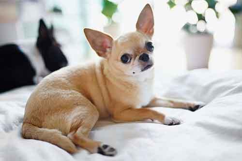 Giống chó Chihuahua