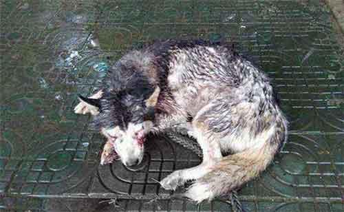 Chú chó Husky bị móc mắt bỏ rơi giữa đường