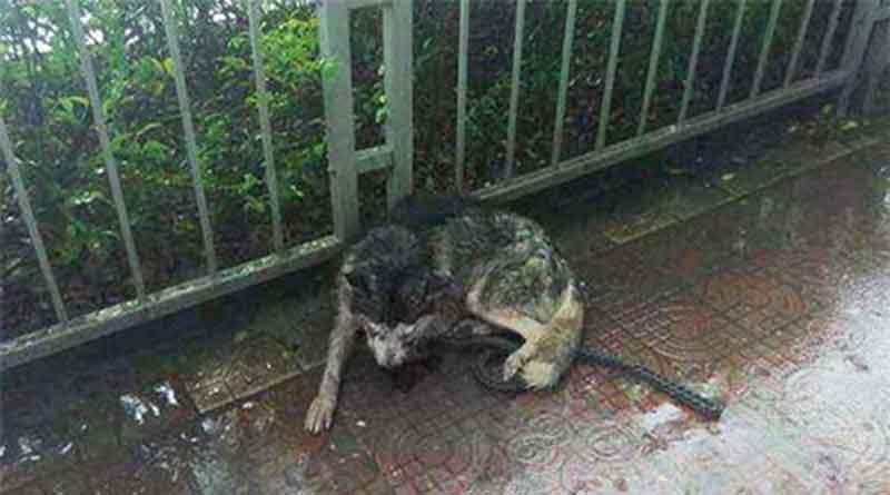 Chú chó HUsky đáng thương bị móc mắt