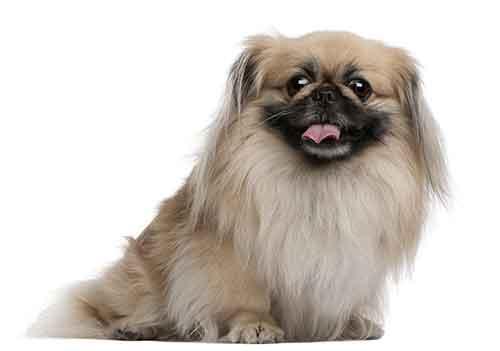 Đặc điểm chó Bắc Kinh