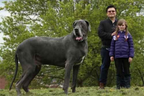 Đặc điểm chó Great Dane