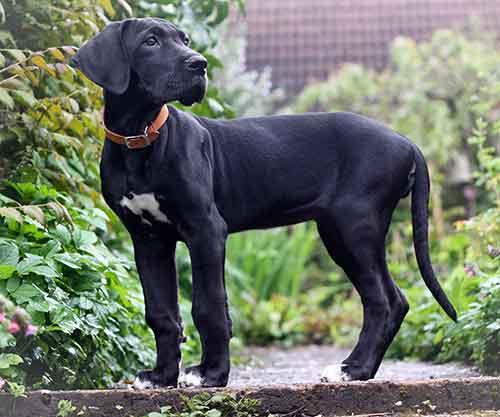 Giống chó Great Dane