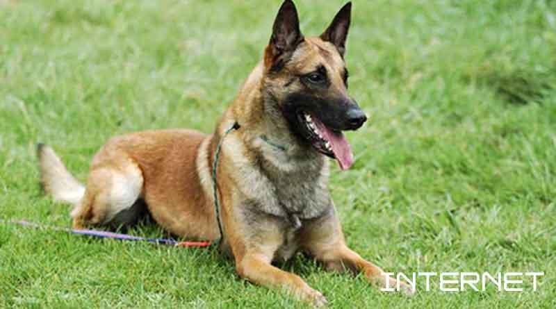 Giống chó Malinois - Béc giê Bỉ