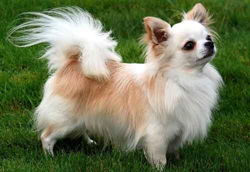 Đặc điểm chó Chihuahua