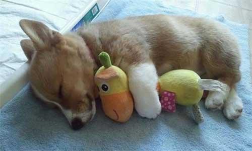 Chăn ấm hoặc đồ chơi yêu thích làm cún ngủ ngon