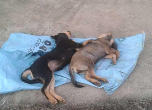 Chó ăn phải bả và cách sơ cứu