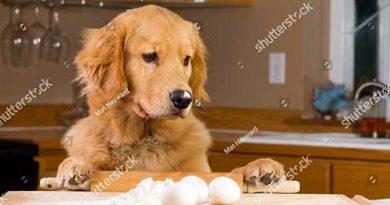 Có nên cho chó ăn trứng vịt lộn