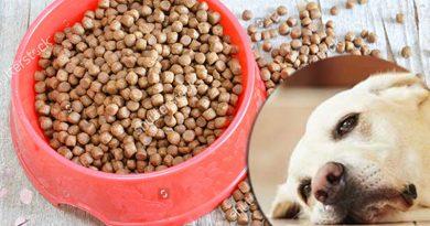 Nên hay không sử dụng thức ăn cho chó dạng hạt