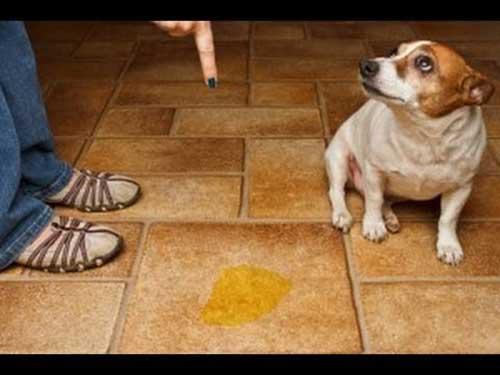 Chú ý khi huấn luyện chó vệ sinh