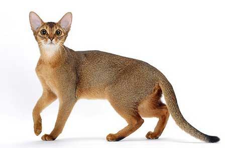 Cách chăm sóc mèo Abyssinian
