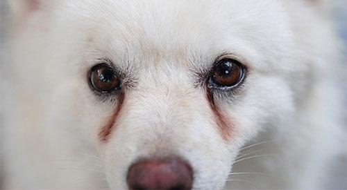Chó bị chảy nước mắt