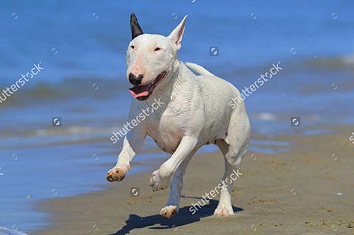 Đặc điểm của chó Bull Terrier