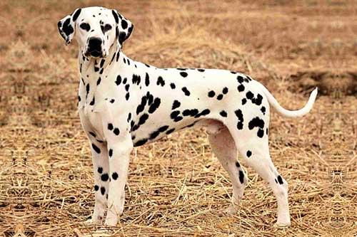 Chó Dalmatian
