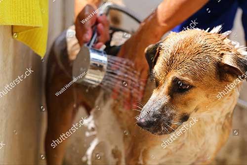 Chó mang thai có nên tắm không