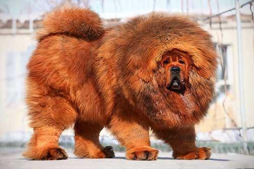 Giới thiệu chó Ngao Tạng
