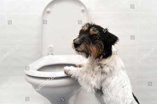 Chú ý trong cách dạy chó đi vệ sinh đúng chỗ
