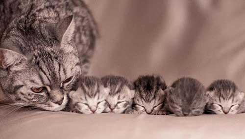 Chăm sóc mèo mẹ sau sinh như thế nào