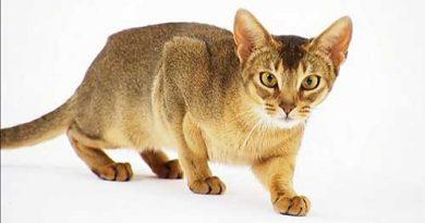 Giới thiệu về giống mèo Abyssinian