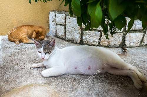 Triệu chứng mèo sắp sinh