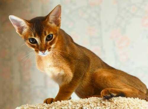 Nguồn gốc của mèo Abyssinian