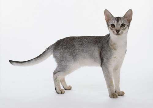 Tính cách của mèo Abyssinian
